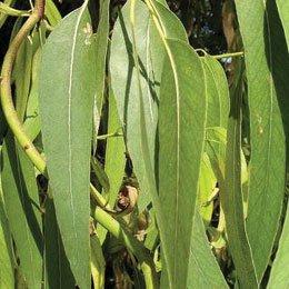 ユーカリプトススミティ/Eucalyptus smithii/Eucalyptus smithii