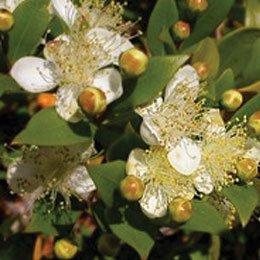 マートルグリーン/Myrtle green/Myrtus communis