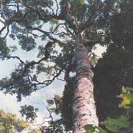 ラバンサラアロマティカ/Ravensara aromatica/Ravensara aromatica