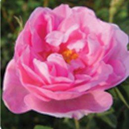 ローズオットー/Rose otto/Rosa damascena