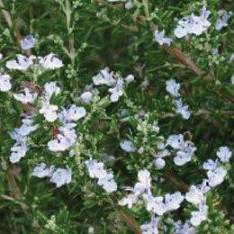 ローズマリーカンファー/Rosemary camphre/Rosmarinus officinalis(ct camphre)