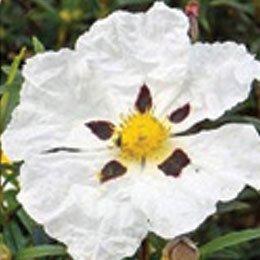 ロックローズ(システ)/Rock rose(ciste)/Cistus ladaniferus