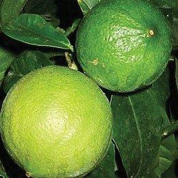 ベルガモット/Bergamote/Citrus bergamia