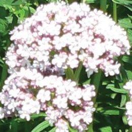 バレリアンCO2/Valerian/Valeriana officinalis