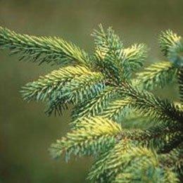 スプルースブラックBIO/Spruce Black/Picea mariana
