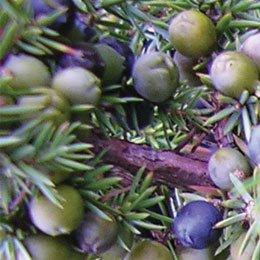 ジュニパーベリー/Juniper berry/Juniperus communis