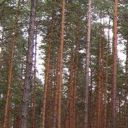 パイン/Pine/Pinus sylvestris