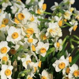 ナルシサスABS/Narcissus ABS/Narcissus poeticus