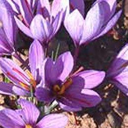 サフランABS/Saffron ABS/Crocus sativus