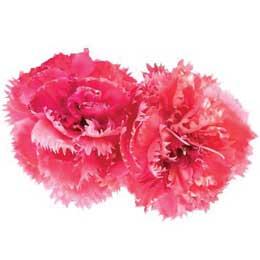 カーネーションCO2/Carnation Flower CO2/Dianthus Caryophyllus