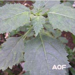 パチョリCO2/Patchouli CO2/Pogostemon Cablin