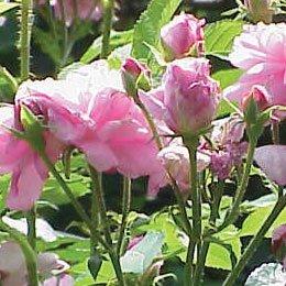 ブルガリアンローズCO2/Rose Bulgarian CO2 Absolute Exquisite/Rosa damascena
