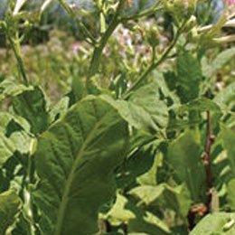 タバコリーフABS/Tobacco ABS/Nicotiana tabacum L