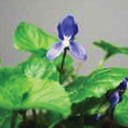 バイオレットリーフABS/Violet Leaf ABS/Viola Odorata