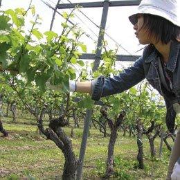 グレープシードオイル/Grape seeds/Vitis vinifera