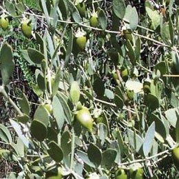 ホホバオイル(透明)/Jojoba wax clear/Simmondsia chinensis