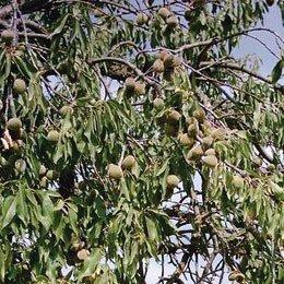 スイートアーモンドオイルBIO/Sweet Almond Oil BIO/Prunus amygdalus