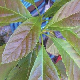 アボカドBIO/Avocat BIO/Persea americana