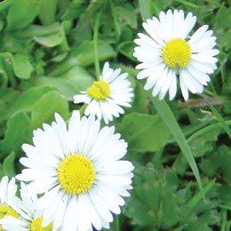 デージー(ひまわり油にて浸出)/English Daisy/Bellis perennis sur tournesol