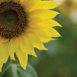 サンフラワーオーガニック(ひまわり種子油)/Sun flower/Helianthus annuus
