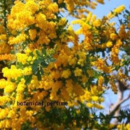 ミモザハイドロラット/mimosa/Acacia mearnsii