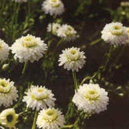 カモミールローマンハイドロラット/Roman chamomile/Anthemis nobilis