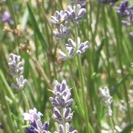 ブルガリアラベンダーハイドロラット/Lavender/Lavandula angustifolia