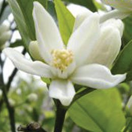 ネロリハイドロラット/Neroli/Citrus aurantium bigaradia