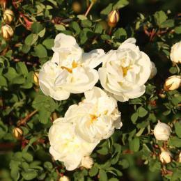 ホワイトローズ/White Rose/Rosa alba
