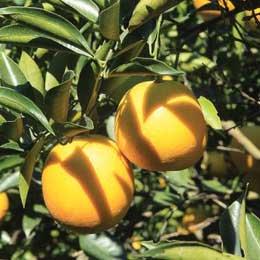 ポンカン/Ponkan/Citrus poonensis