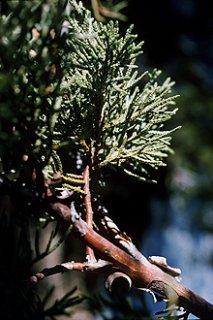 テキサスシダーウッド/Cedarwood Texas/Juniperus ashei