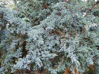 ヒマラヤンジュニパーベリー/Himalayan Juniper Oil/Juniperus squamata D. Don