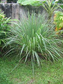 レモングラスCO2/Lemongrass/Cymbopogon citratus