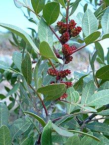 マスティックツリー/Mastic tree/Pistacia lentiscus