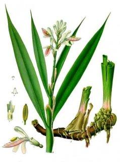 ガランガル/Galangal/Alpinia galanga