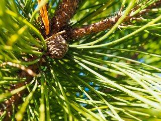 パインニードル/Pineneedle/Pinus sylvestris
