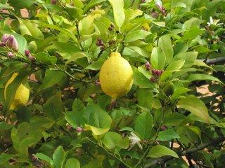 プチグレインレモン/Petitgrain Lemon/Citrus limomum