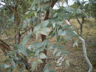 ユーカリプトスメントール/Eucalyptus Dives/Eucalyptus Dives