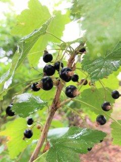 ブラックカラント(カシス)/BLACKCURRANT BUD (CASSIS)/Ribes nigrum