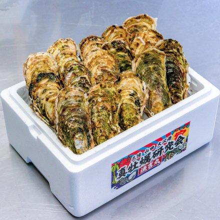 SU00010 <水産物応援商品>真牡蠣研究会の殻付かき3年物(15個)[加熱用]【送料無料】 付属品:カキナイフ、軍手