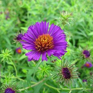 アスター ノビエングリエ 'ビオレッタ' (ネバリノギク) Aster novae-angliae 'violetta'