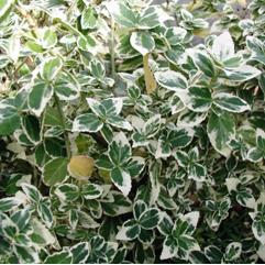 アメリカツルマサキ 'エメラルドガイディ' Euonymus fortunei 'Emerald'n Gaiety'