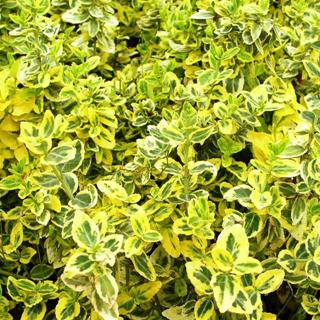 アメリカツルマサキ 'エメラルドゴールド' Euonymus fortunei  'Emerald'n Gold'