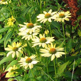 エキナセア 'サンライズ' Echinacea 'Sunrise'