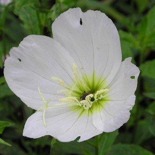 エノテラ スペシオーサ 'ウッドサイドホワイト'Oenothera spesiosa 'Woodside White'