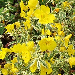 エノテラ フルティコーサ 'スプリングゴールド'Oenothera fruticosa ssp.glauca 'Spring Gold'