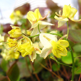 エピメディウム バーシカラー 'サルファレウム'Epimedium × versicolor 'Sulphureum'
