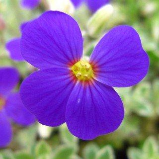 オブリエチア デルトイデア 'バリエガータ'  Aubrieta deltoidea Variegata