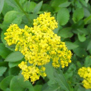 オミナエシ Patrinia scabiosifolia