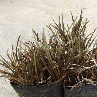 カレックス 'バーレンニーアイ'  Carex 'berggrenii'